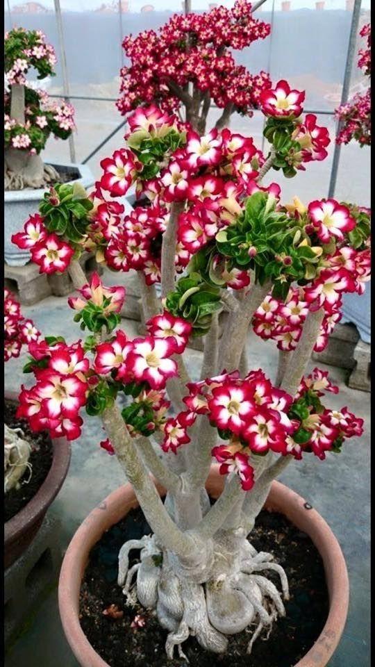 como cultivar flor deserto cuidados