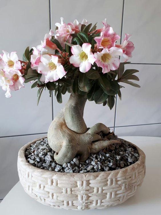 como cultivar flor deserto fertilizacao