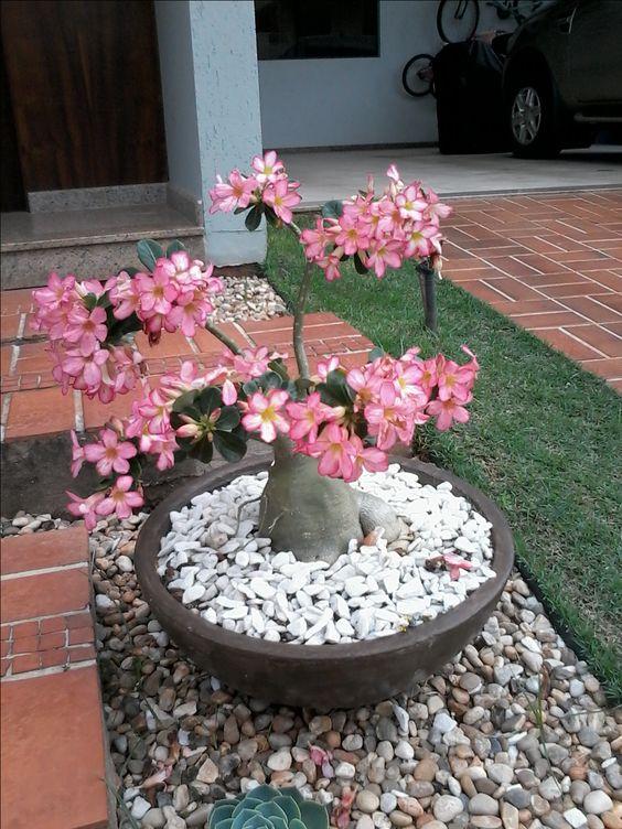 como cultivar flor deserto jardim 1
