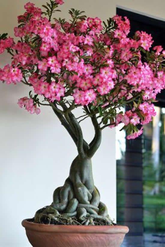como cultivar flor deserto jardim