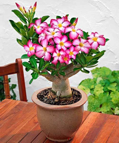 como cultivar flor deserto rosa