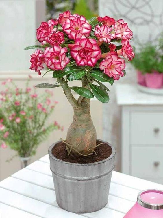 como cultivar flor deserto vaso