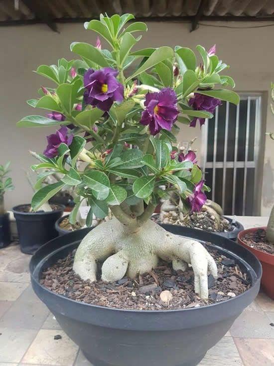 como cultivar flor deserto violeta