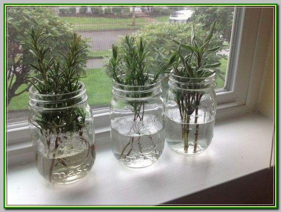 como plantar alecrim mudas