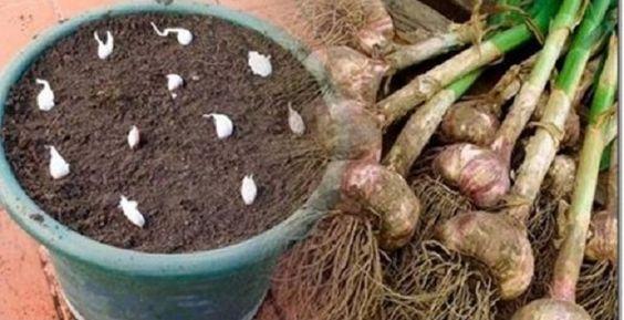 como plantar alho direto
