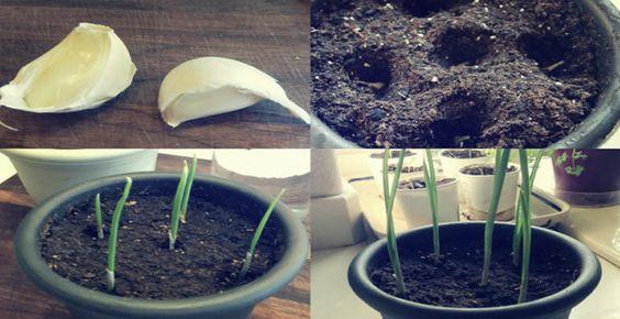 como plantar alho germinar direto