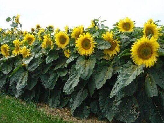 como plantar girassol cuidados