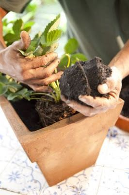 como plantar morango vaso