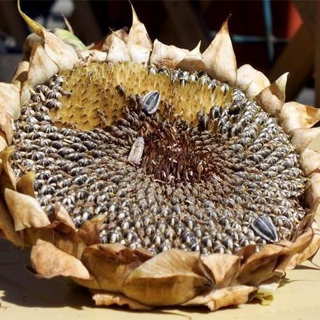 como plantar semente