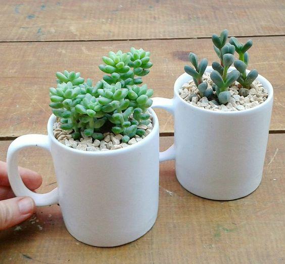 como plantar suculenta xicara cafe