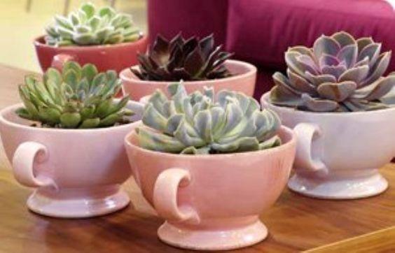 como plantar suculenta xicara rosa