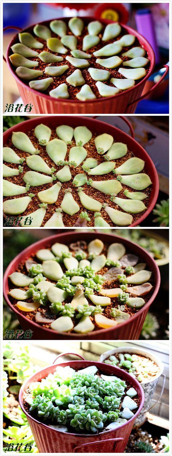 como plantar suculentas passo passo 1