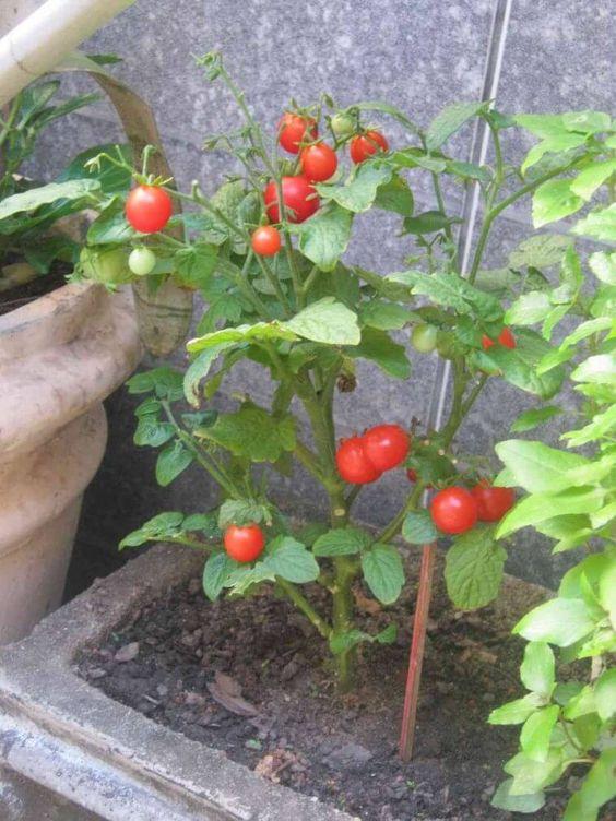 como plantar tomate casa cereja casa