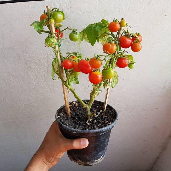 como plantar tomate casa dicas