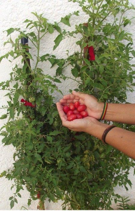 como plantar tomate casa