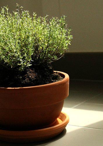 como plantar tomilho 1