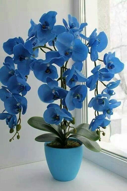 como regar orquideas azul