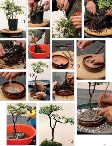 cuidados com bonsai