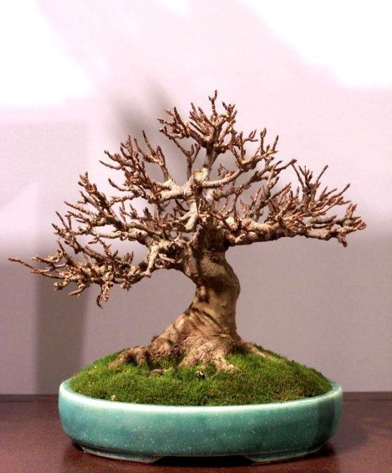 ideias decoracao bonsai poda