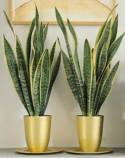 melhores plantas casa espada s jorge decoracao