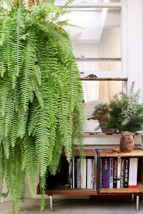 melhores plantas casa samambaia