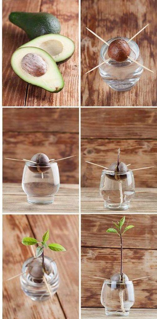 plantar abacate casa