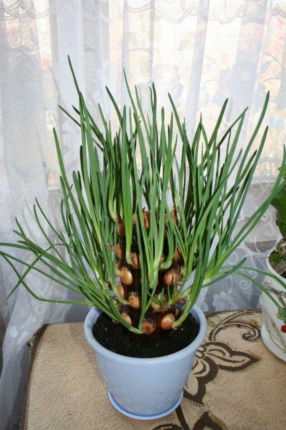 plantar cebolinha casa vaso