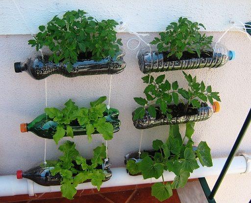 plantar coentro garraf pet