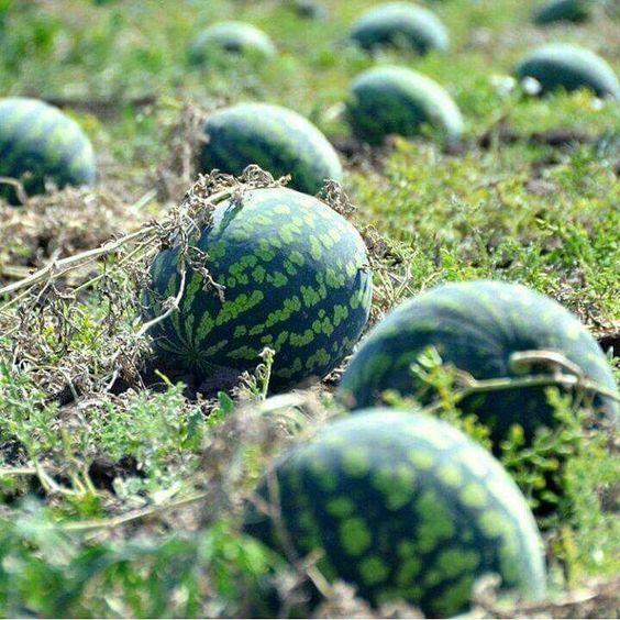 plantar melancia em casa