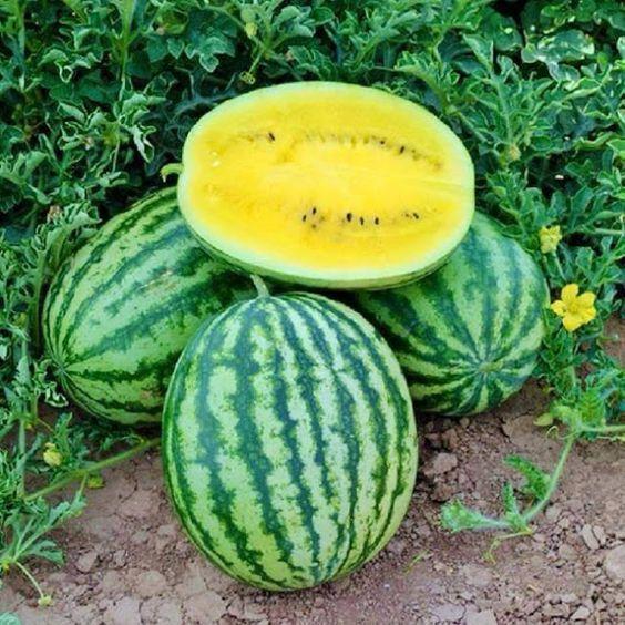 plantar melancia passo passo