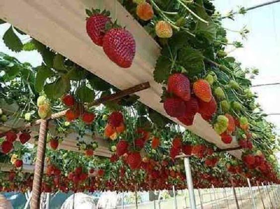 plantar morango casa