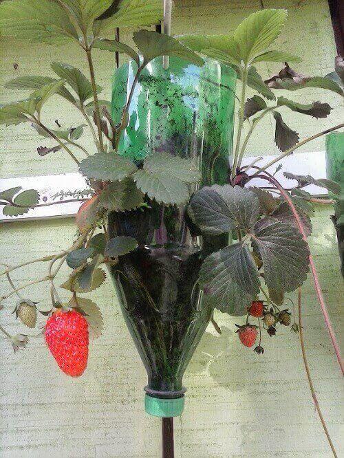 plantar morango garrafa