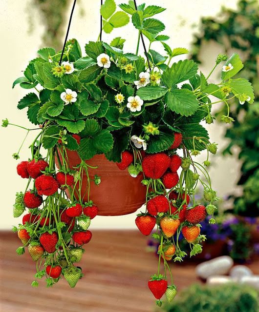 plantar morango suspenso