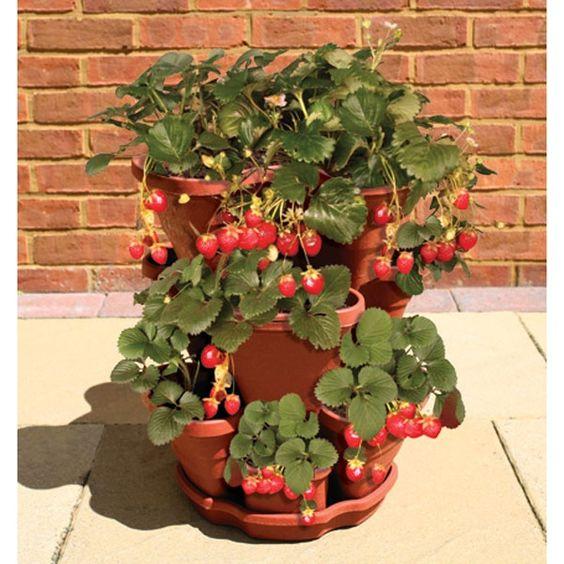 plantar morango vaso