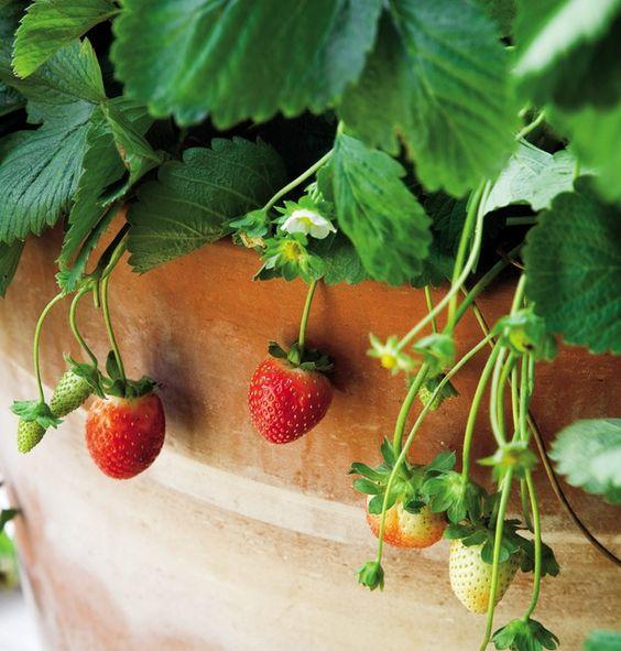 plantar morangos casa vaso