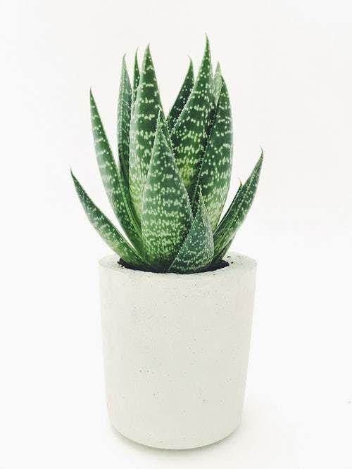 plantas atraem energia positiva aloe vera