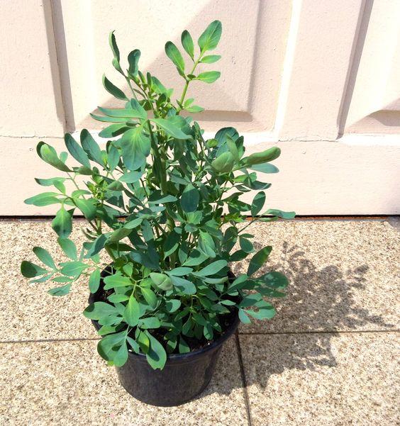 plantas atraem energia positiva arruda