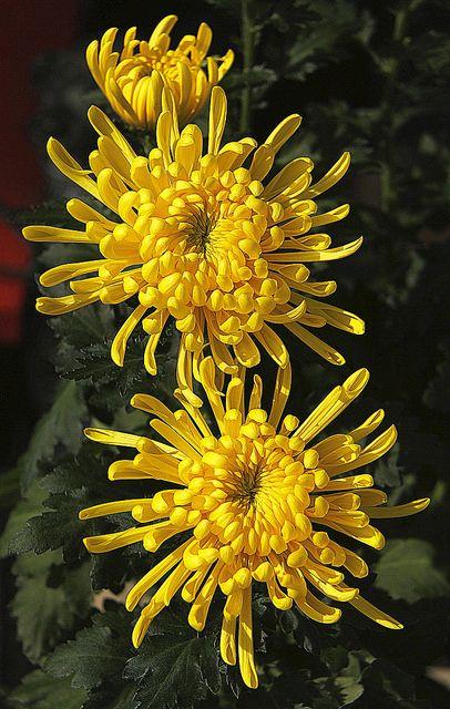 plantas atraem energia positiva crisanteo