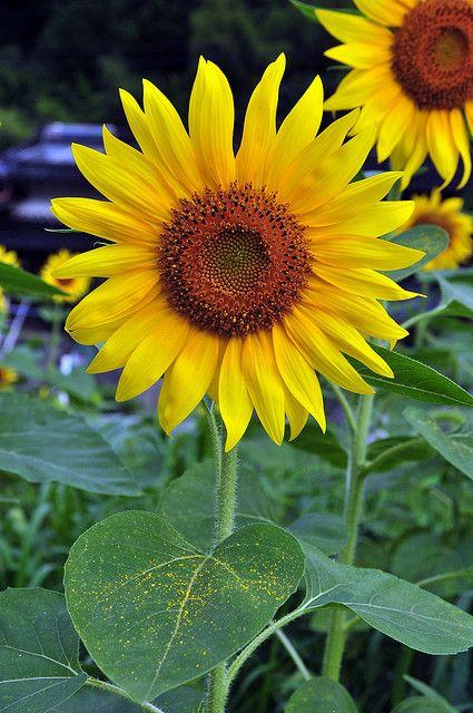 plantas atraem energia positiva girassol
