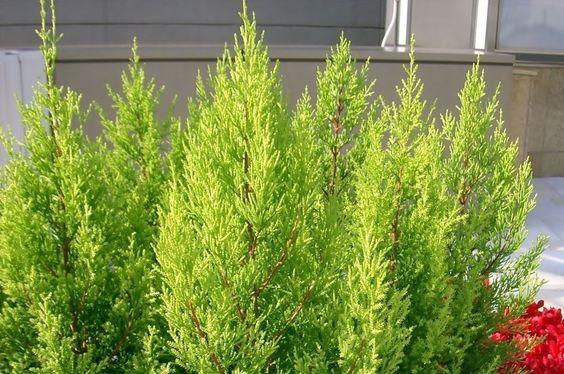 plantas atraem fortuna tuia