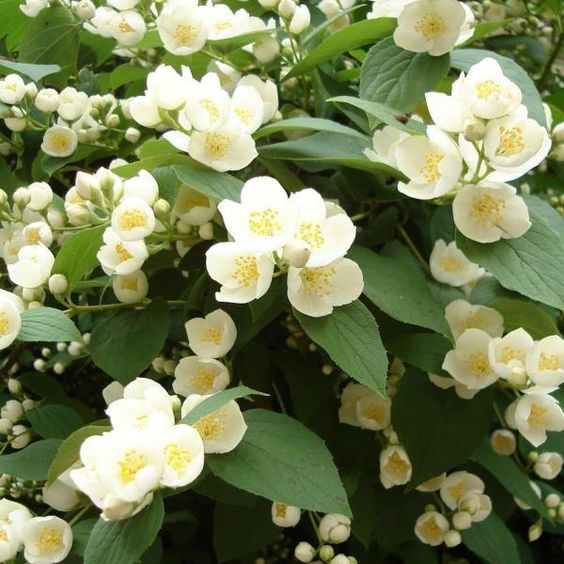 plantas atrair amor jasmim trepadeira