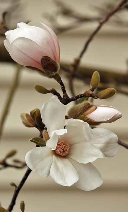 plantas atrair amor magnolia 1