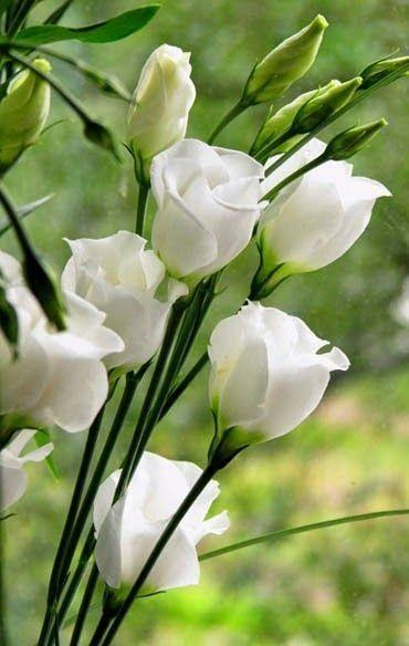 plantas atrair amor rosa branca