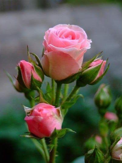 plantas atrair amor rosa